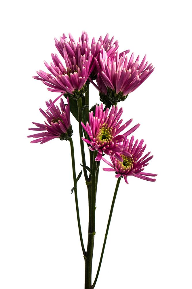 Pom Novelty Lavender Ivanovo 1