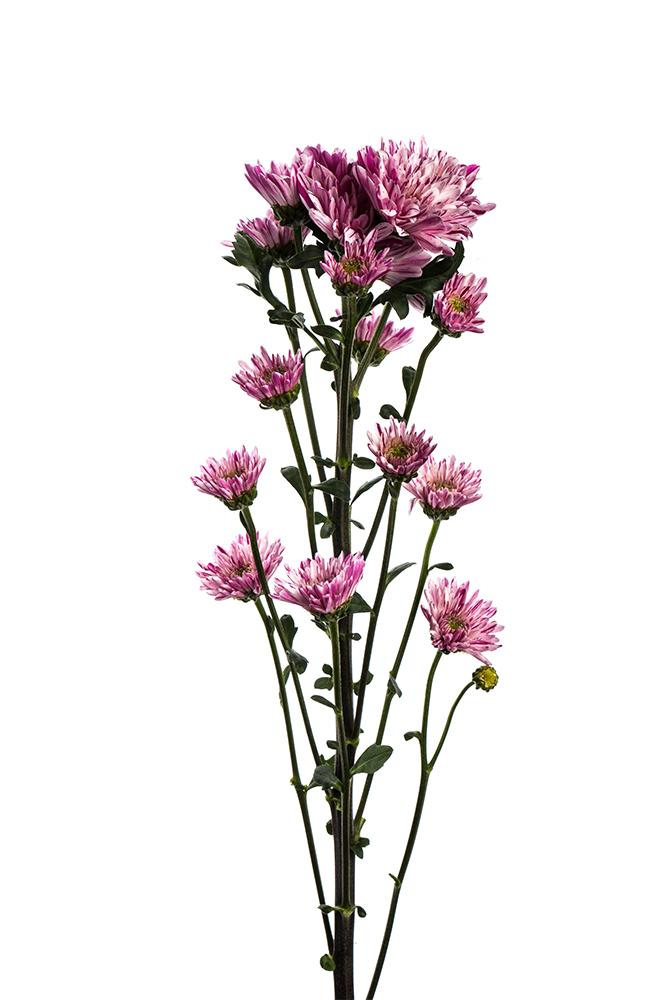 Pom Novelty Lavender Souffle Purple