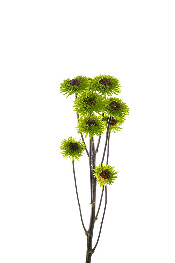Pom Novelty Peridot Green