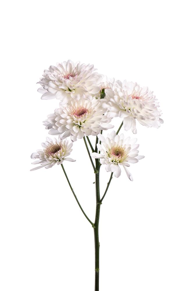 Pom Novelty White-Lavender Candor