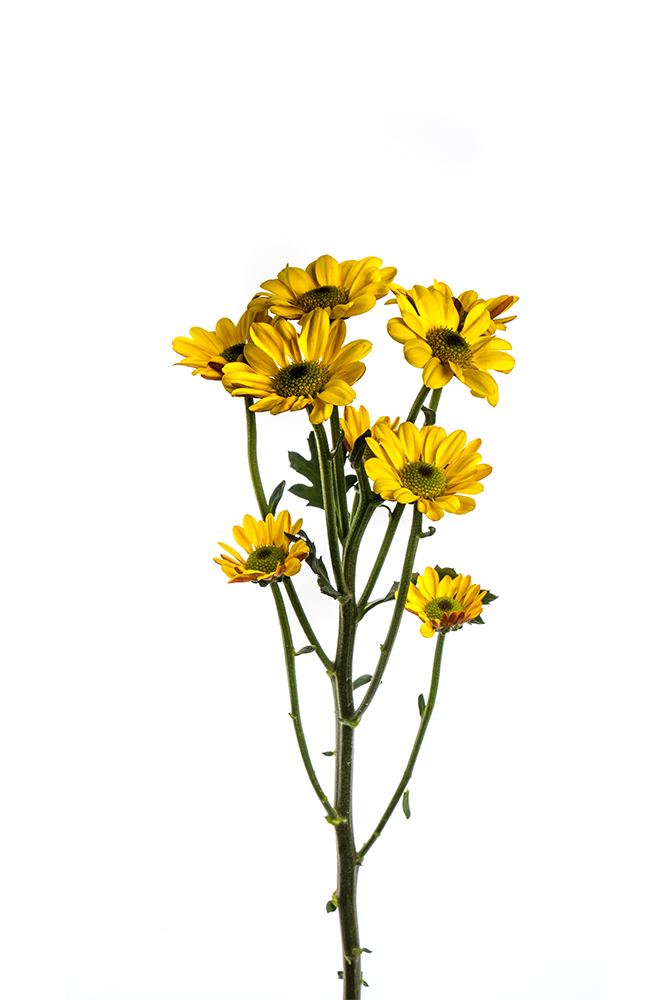 Pom Novelty Gold Yellow Centella