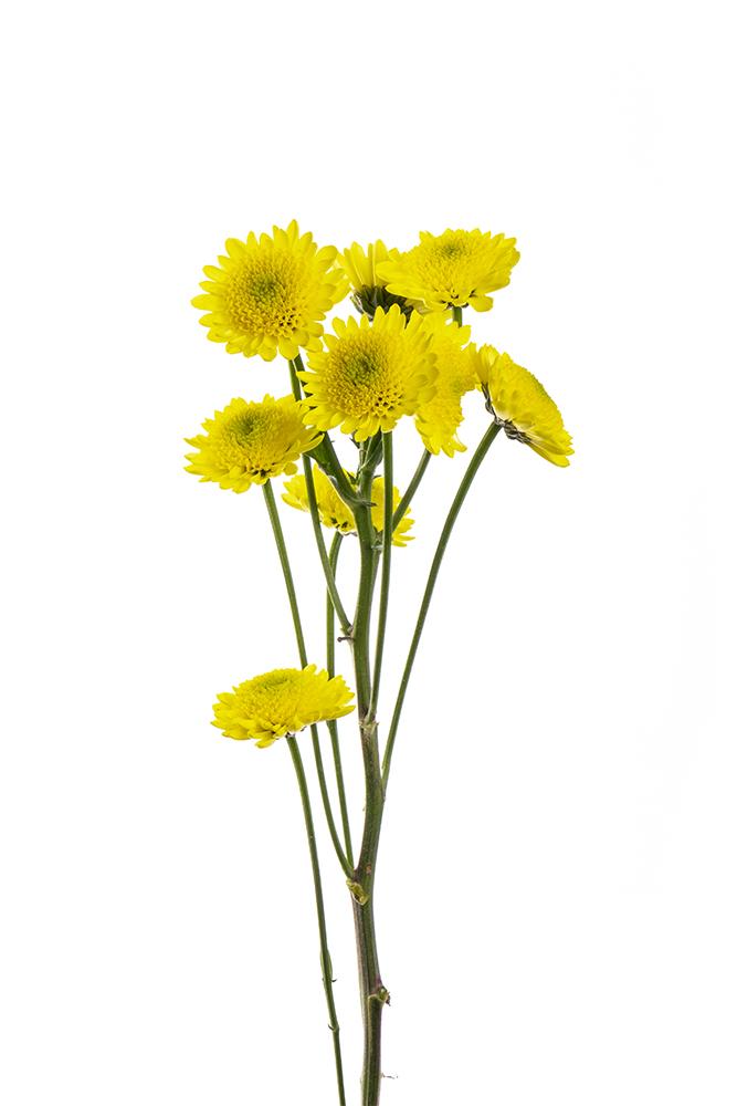 Pom Novelty Yellow Yellow Puma 2