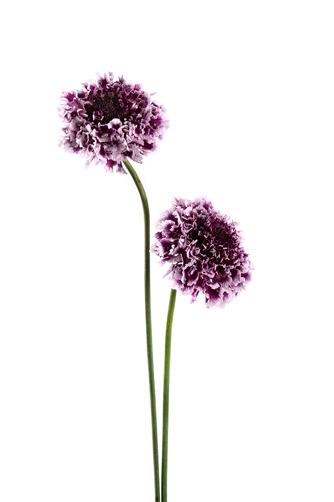 Scabiosa Bicolor Purple-White Cherry Vanilla Scoop