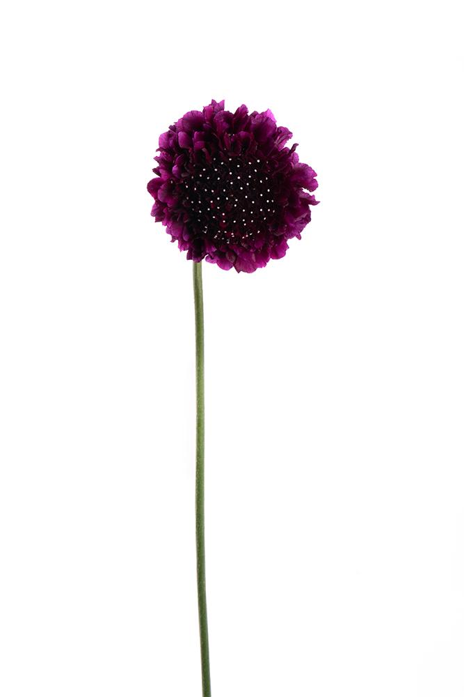 Scabiosa Purple Red Velvet 2