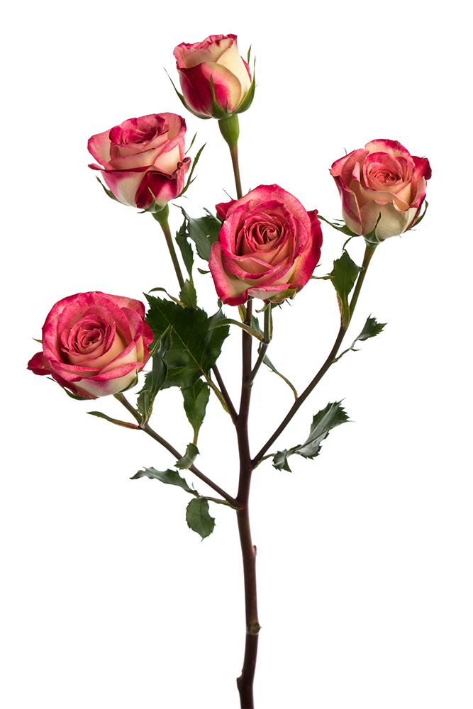 Spray Rose Bicolor Pink-Cream Tatanga