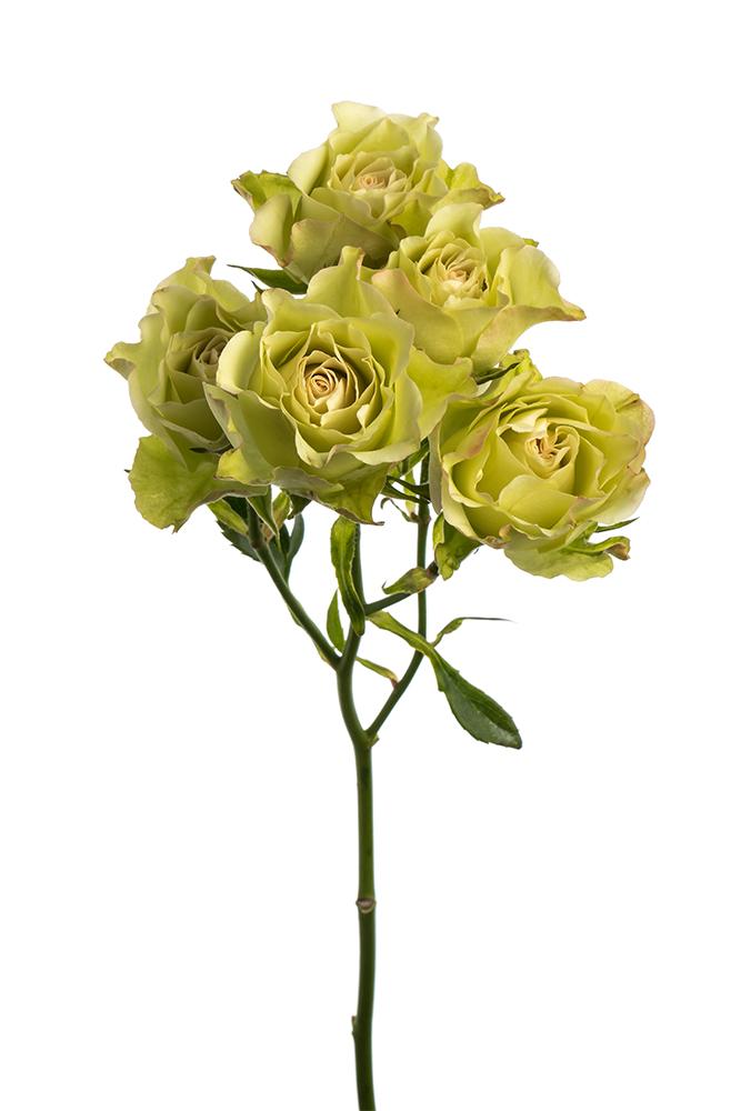 Spray Rose Green Luviana