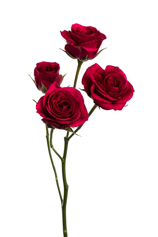 Spray Rose Hot Pink Gem Star