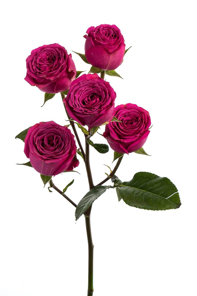 Spray Rose Hot Pink Ilse