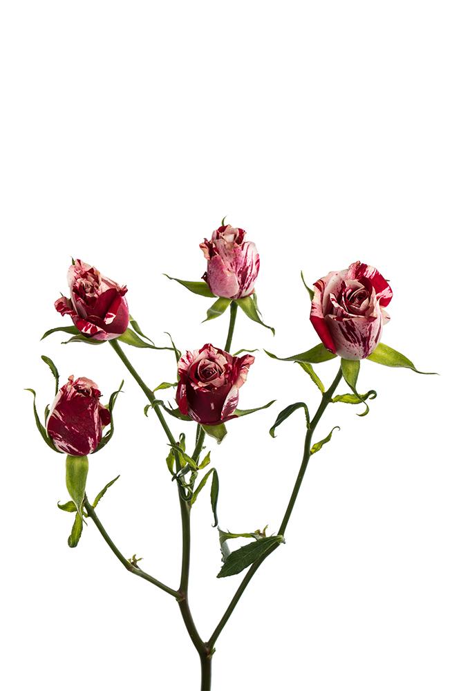 Spray Rose Hot Pink Lovely Lidia