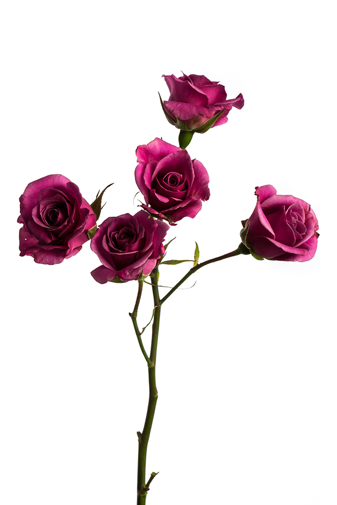 Spray Rose Lavender Purple Sky