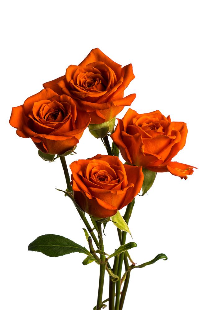Spray Rose Orange Bright Sensation