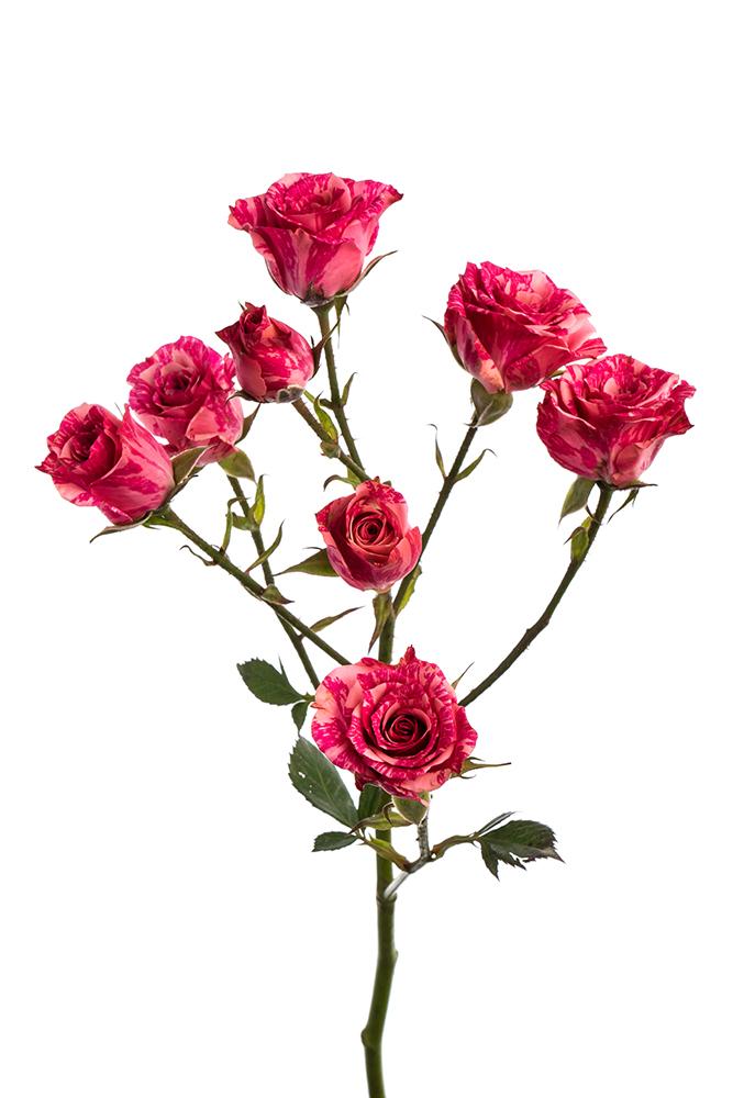 Spray Rose Orange Babe