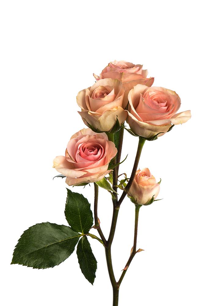 Spray Rose Peach Cesar Palace