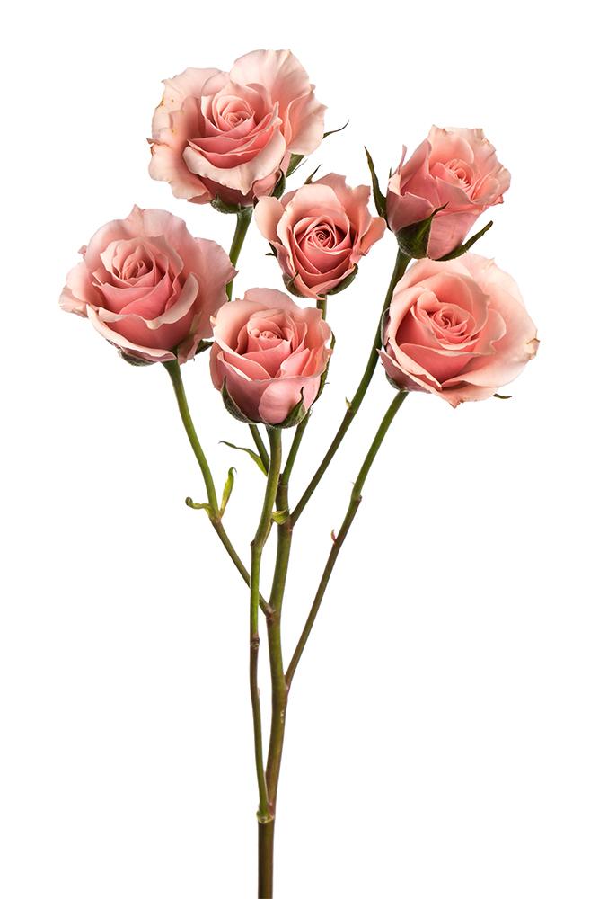Spray Rose Pink Majolika