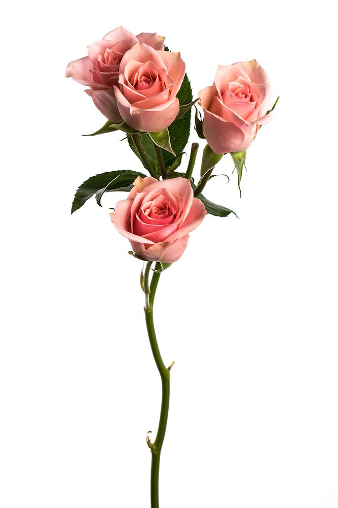 Spray Rose Pink Elba