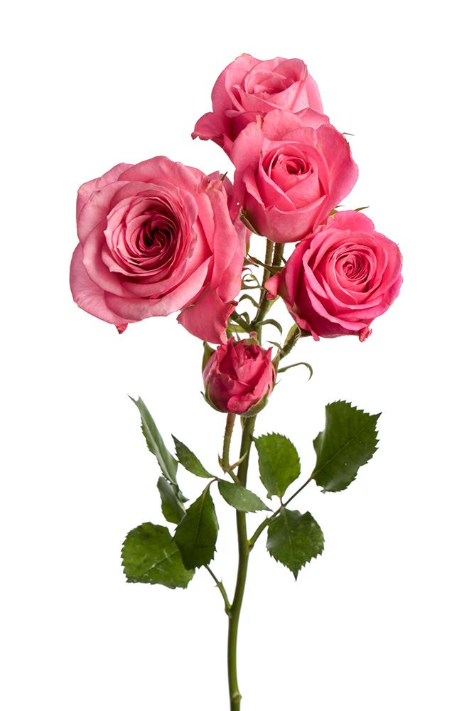 Spray Rose Pink Nathaly