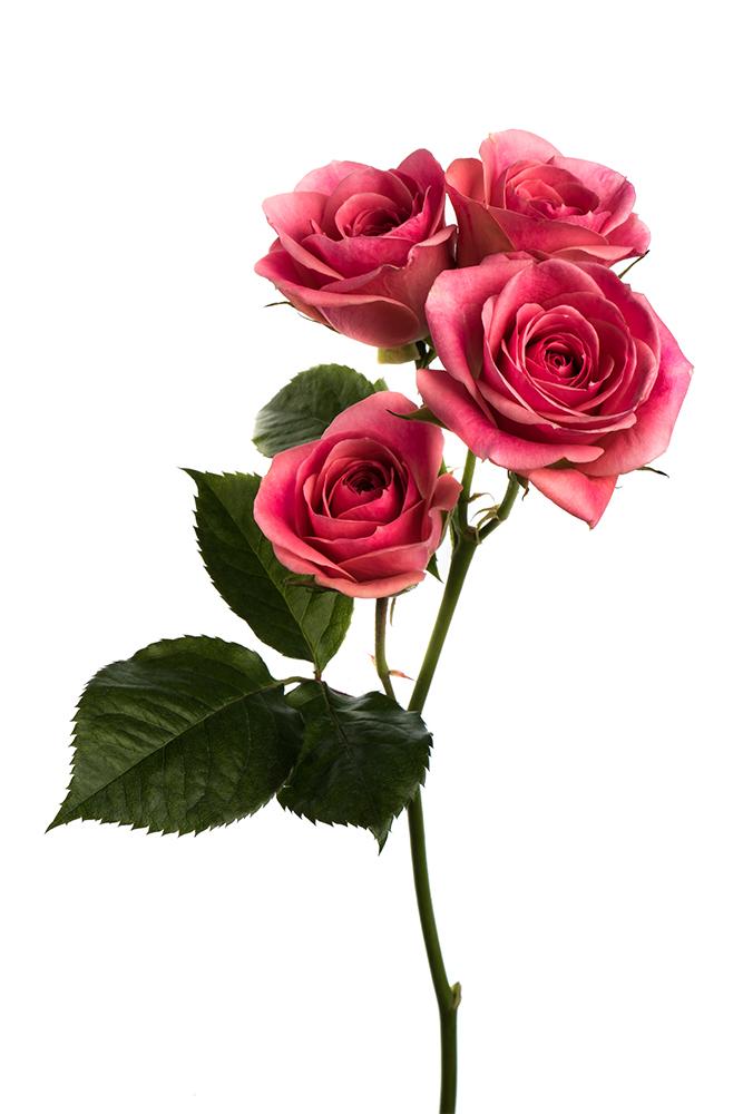 Spray Rose Pink Odilia