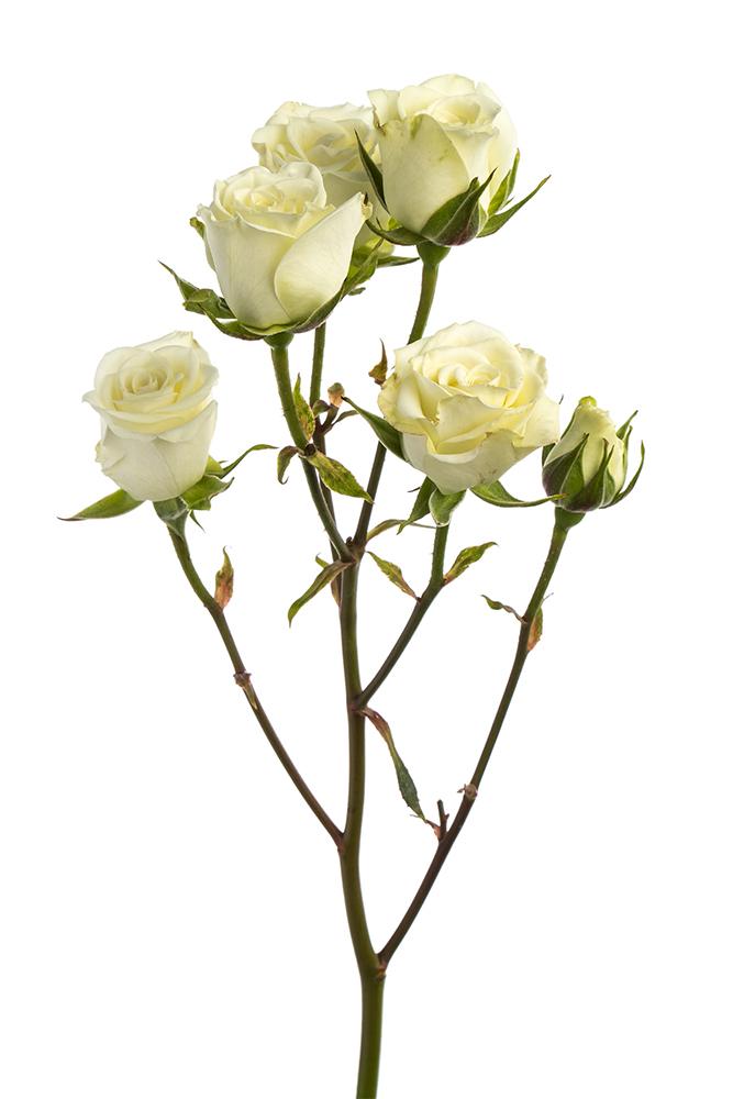 Spray Rose White Snowflake