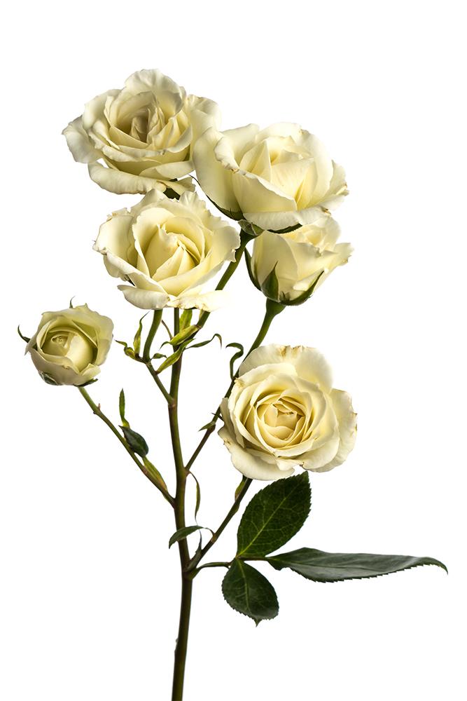 Spray Rose White White Majolika