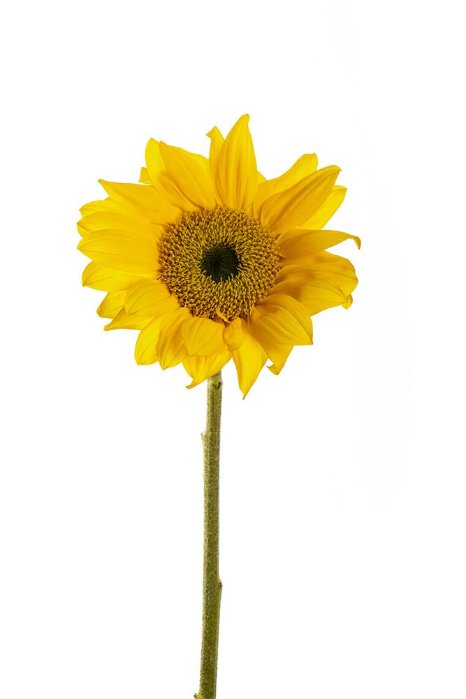 Sunflower Sun Rich 1