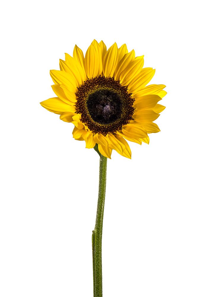Sunflower Sunbright