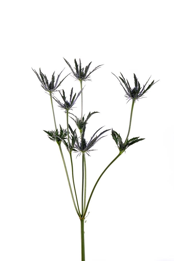 Thistle (Eryngium) Blue Alpinum