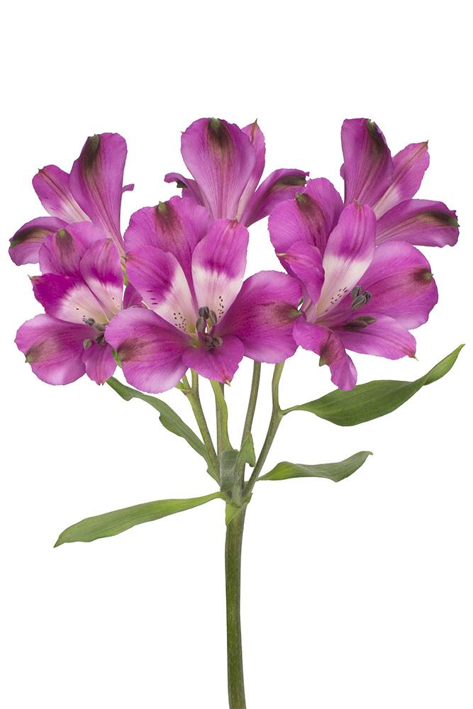 Alstroemeria Bright Orchid Dark Purple