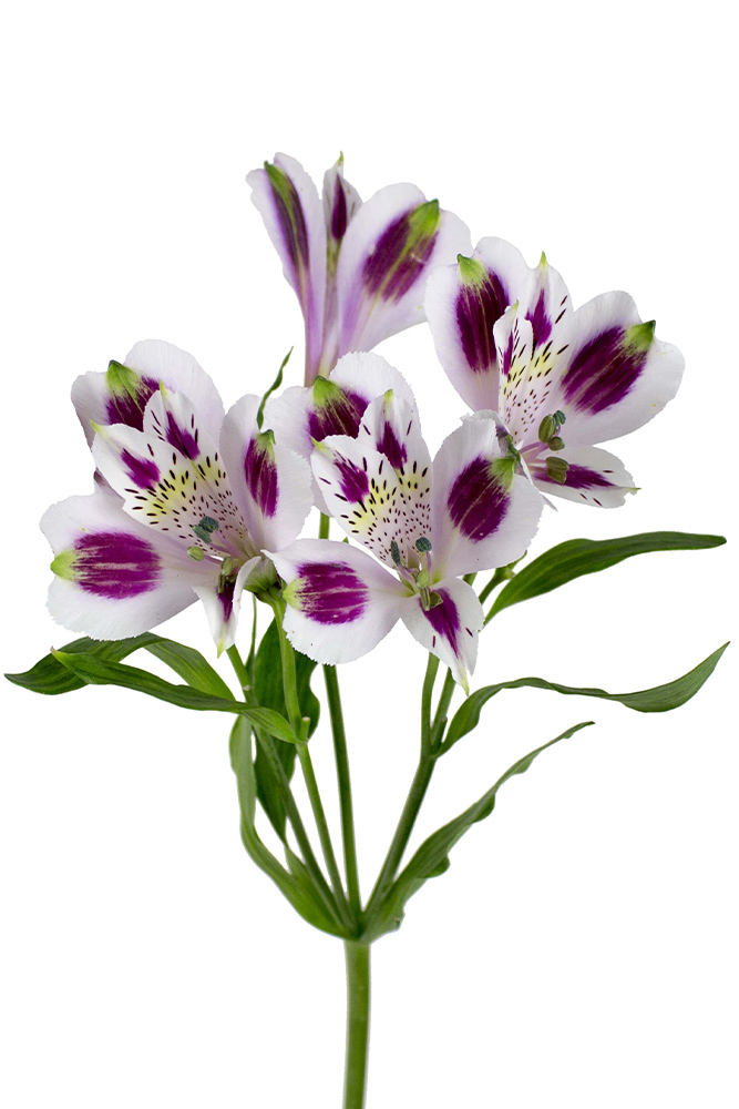 Alstroemeria Mayfair White Lavender