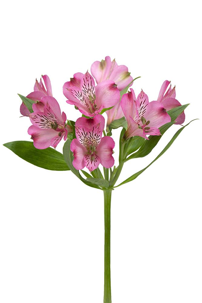 Alstroemeria Peace Pink