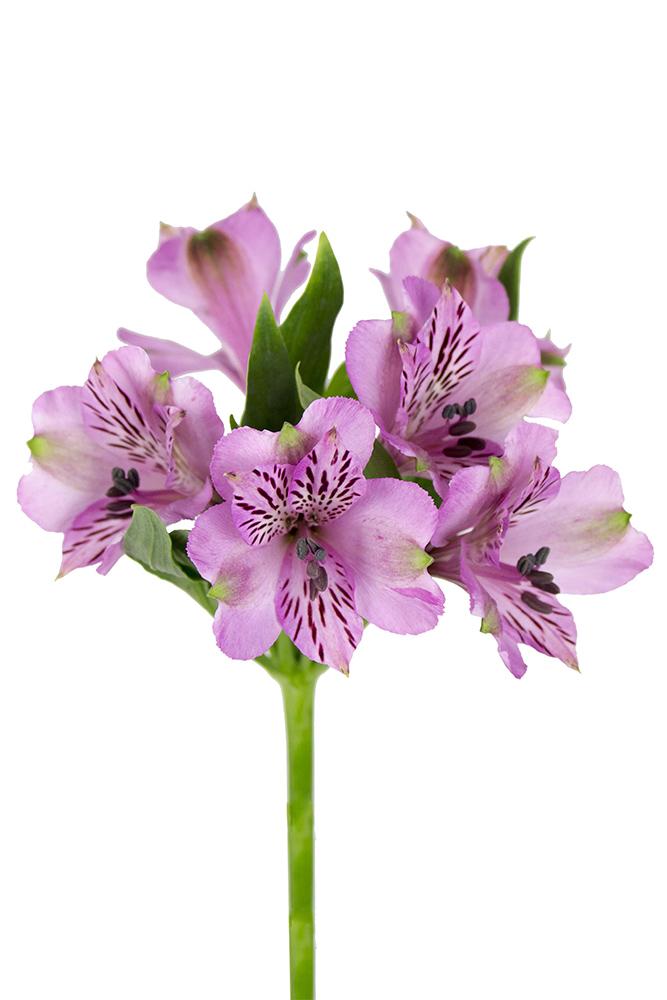 Alstroemeria Rembrandt Lavender