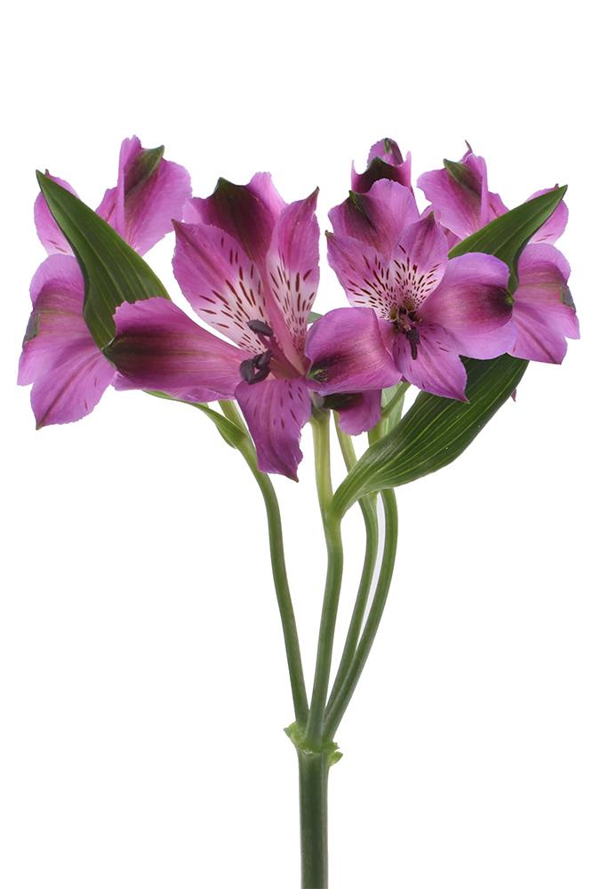 Alstroemeria Serenity Pink