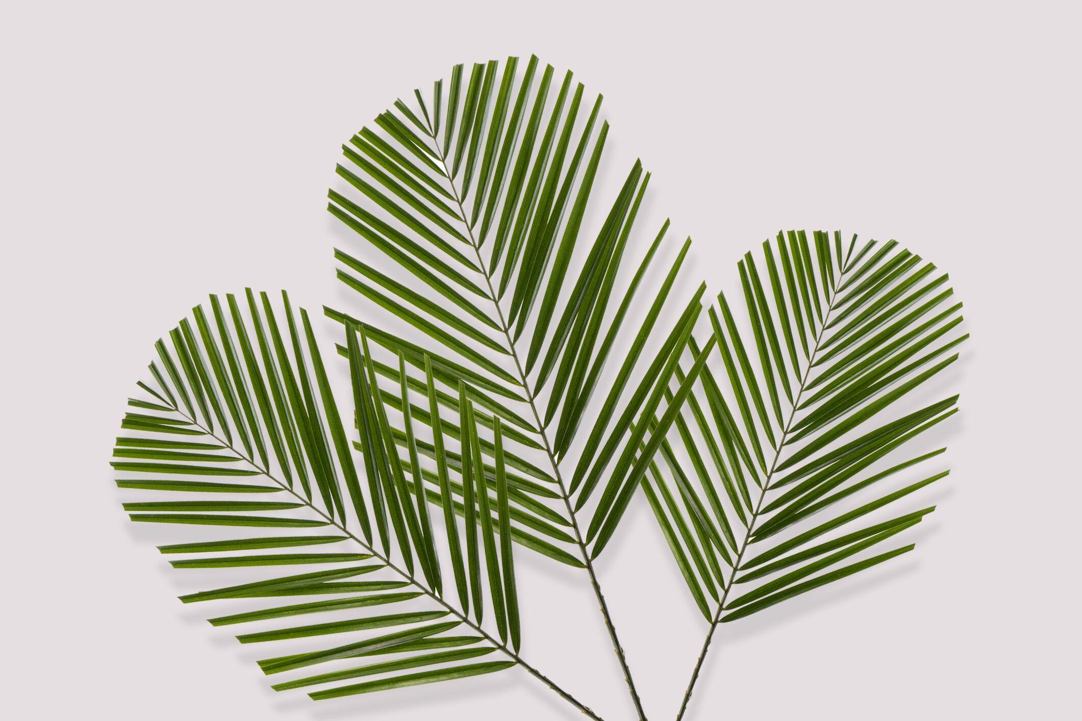 palma rovelina