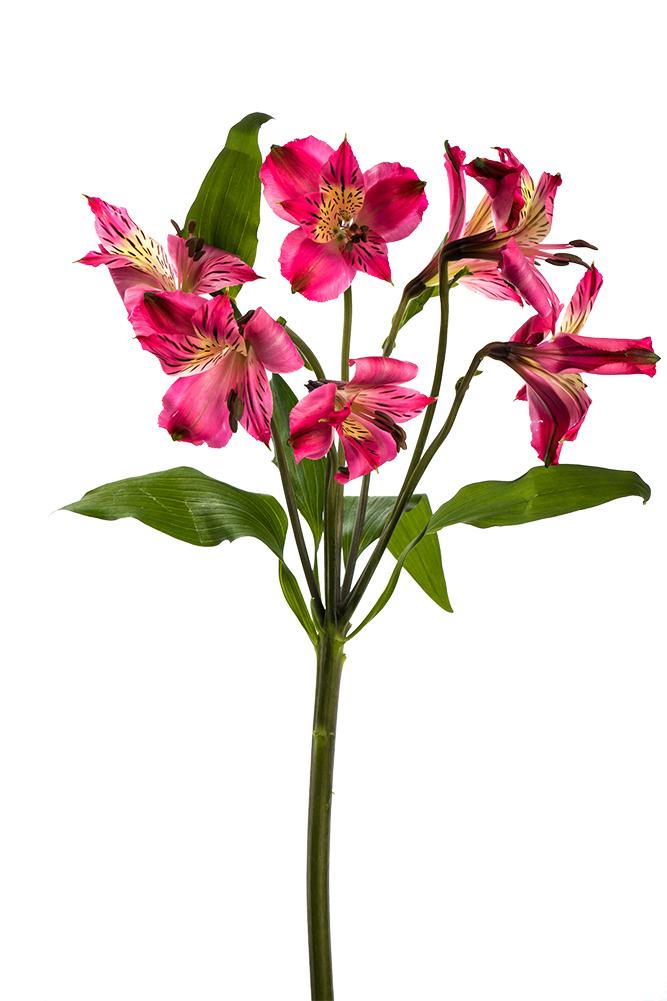 Alstroemeria Chapeau Hot Pink